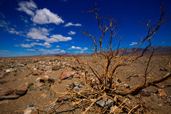 Death Valley National Park California dried branches Royalty Free Stock Image