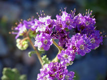 Death Valley Phacelia Images libres de droits