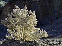 Death Valley Shrub Royalty Free Stock Photography