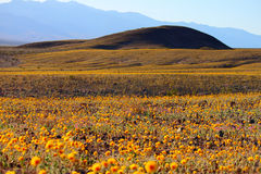 Death Valley Wild Flower Bed royalty free stock photo