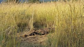 Death wildebeest in waterberg game park Royalty Free Stock Images