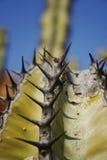 deathly kaktus Fotografering för Bildbyråer