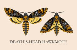 Deaths-head hawk moth Stock Image