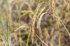 Deatil de riz de transitoire Photos stock
