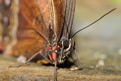 Deatil to butterfly head and body Royalty Free Stock Photo