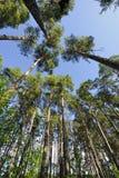 Debajo de árboles de pino Fotografía de archivo libre de regalías