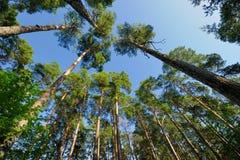 Debajo de árboles de pino Fotos de archivo