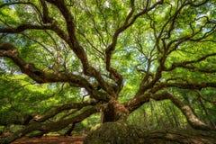 Debajo de Angel Oak Tree Imagenes de archivo