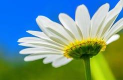 Debajo de la flor de la margarita fotografía de archivo