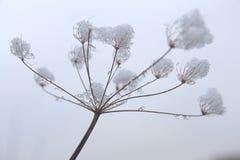 Debajo de la nieve Umbel fotografía de archivo
