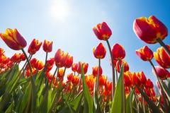 Debajo de la opinión tulipanes anaranjados hermosos, Países Bajos Foto de archivo
