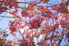 Debajo de las flores del múltiplo del árbol de la flor de cerezo Foto de archivo libre de regalías