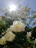 Debajo de los flores de Apple del sol imagen de archivo