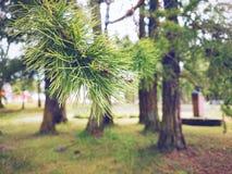 Debajo de los pinos Fotografía de archivo