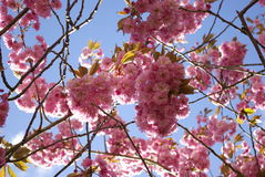 Debajo del árbol de la flor de cerezo, flores múltiples Fotos de archivo libres de regalías