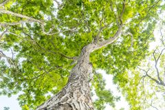 Debajo del árbol grande y con la rama magnifique foto de archivo libre de regalías