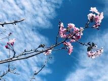 Debajo del cielo azul y de las nubes blancas, los flores hermosos del melocotón son bloomingUnder el cielo azul y nubes blancas,  foto de archivo