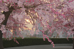 Debajo del flor rosado por la mañana Fotografía de archivo libre de regalías