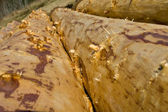 Debarked logs drying Royalty Free Stock Images