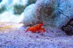 Debelius marinho vermelho de Lysmata do camarão foto de stock