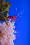 Debelius marinho vermelho de Lysmata do camarão Fotografia de Stock