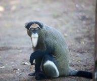 deBrazza's małpa Zdjęcia Royalty Free
