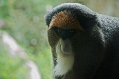 Debrazza's Monkey. With a white beard in the Taronga Zoo near Sydney Australia royalty free stock images