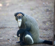 DeBrazza's monkey. The monkey like the old man Royalty Free Stock Photos