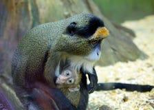 Debrazzas małpa Fotografia Royalty Free