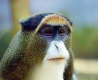 Debrazzas małpa Zdjęcie Royalty Free