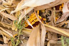 Debris on the ground of a harvested corn field Royalty Free Stock Photos