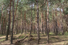 Debrowski лес Стоковые Изображения RF