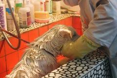 24, Dec, 2015, China, Chongqi dierenartshulp die douche voor een Droevige witte verdwaalde straathond nemen royalty-vrije stock foto