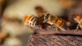 12, Dec, 2016 - de bijen in Dong Vietnam van Dalat- Lam Royalty-vrije Stock Afbeelding