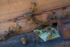 12, Dec, 2016 - Groep Bijen bij de Ingang aan Dong Vietnam van Bijenkorfdalat- Lam Royalty-vrije Stock Afbeeldingen