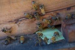 12, Dec, 2016 - Groep Bijen bij de Ingang aan Dong Vietnam van Bijenkorfdalat- Lam Royalty-vrije Stock Afbeelding