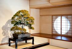 Juniper Bonsai at Omiya Bonsai Museum garden, Saitama, Japan stock photo