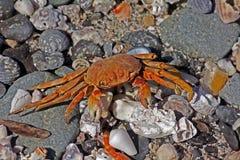 Decaboda/Brachyura: Död krabba med 7 ben, Masirah ö, Oman Arkivbild