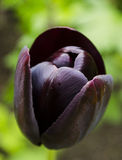 Decadent black tulip. Close up detail of a decadent black tulip Royalty Free Stock Photos