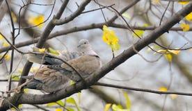 Decaocto горлицы голубя сидя на дереве Стоковая Фотография