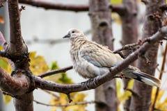 Decaocto colocado um colar do Streptopelia da pomba que senta-se em um ramo de árvore Fotos de Stock