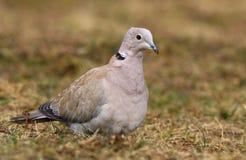 Decaocto del Streptopelia de la paloma de la tortuga del jardín Fotografía de archivo libre de regalías