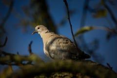 Decaocto di Streptopelia La natura selvaggia della repubblica Ceca Fotografie Stock Libere da Diritti