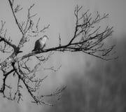 Decaocto Rola-turca do Streptopelia no ramo do inverno fotografia de stock