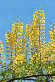 decapetala caesalpinia Стоковые Изображения RF