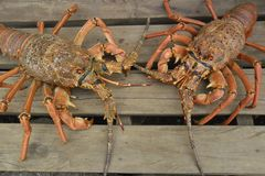 Decapoda, Seafood, Crustacean, American Lobster royalty free stock images