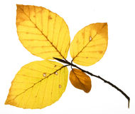 Decay of beech leaves Royalty Free Stock Photography