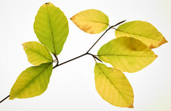 Decay of beech leaves Royalty Free Stock Images