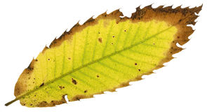Decay of a chestnut leaf Royalty Free Stock Image