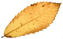Decay of a chestnut leaf Royalty Free Stock Photo